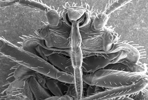 Bed Bug up close and personal